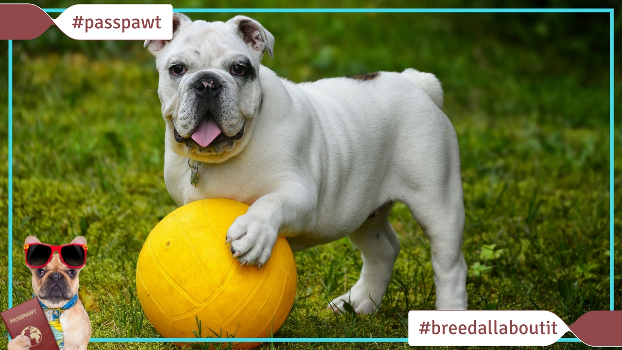 Breed All About It – Dog Breeds starting With E – English Bulldog