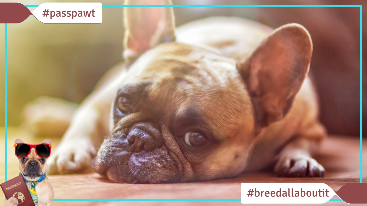 Breed All About It – Dog Breeds starting With F – French Bulldog