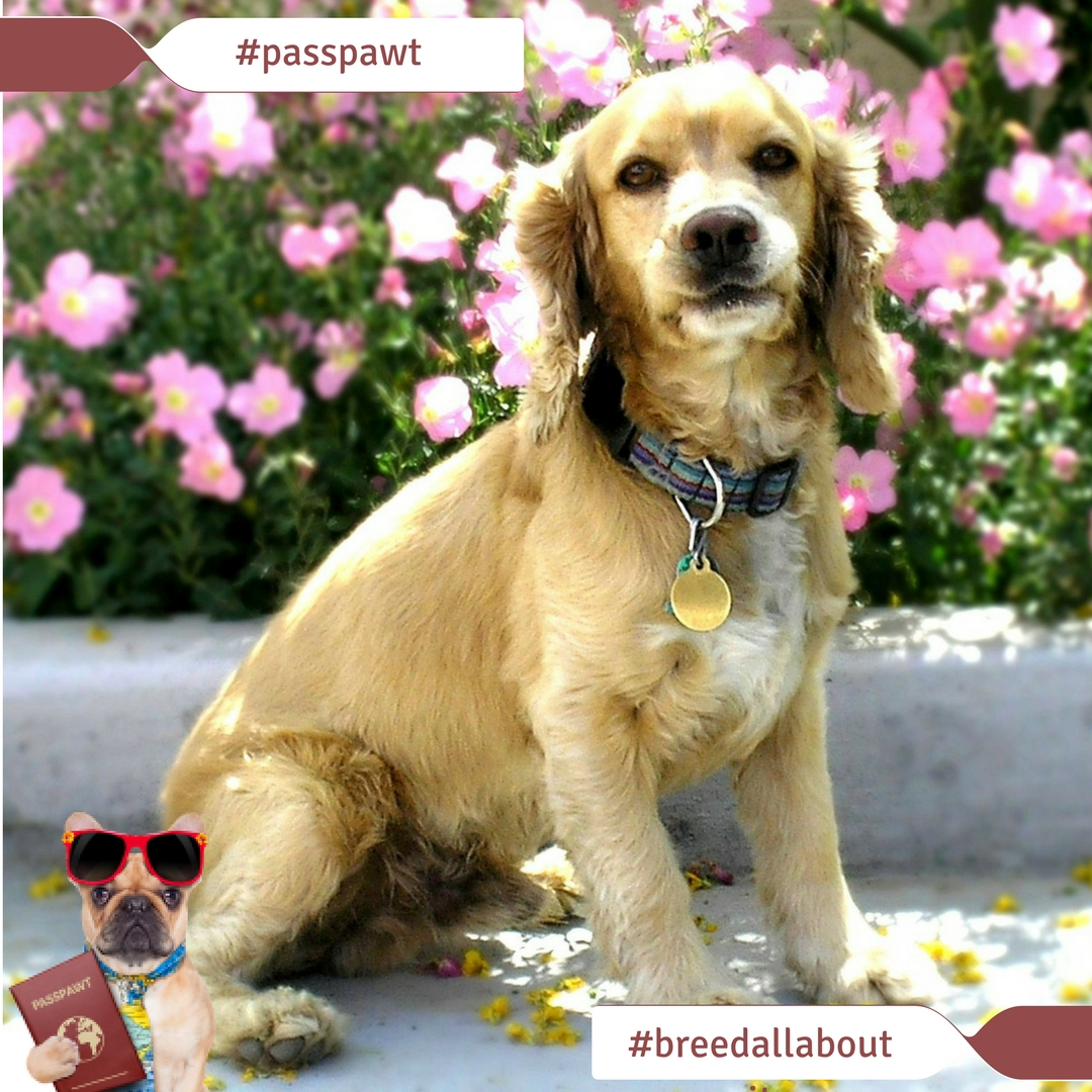 Breed All About It – Dog Breeds starting With C – Cocker Spaniel