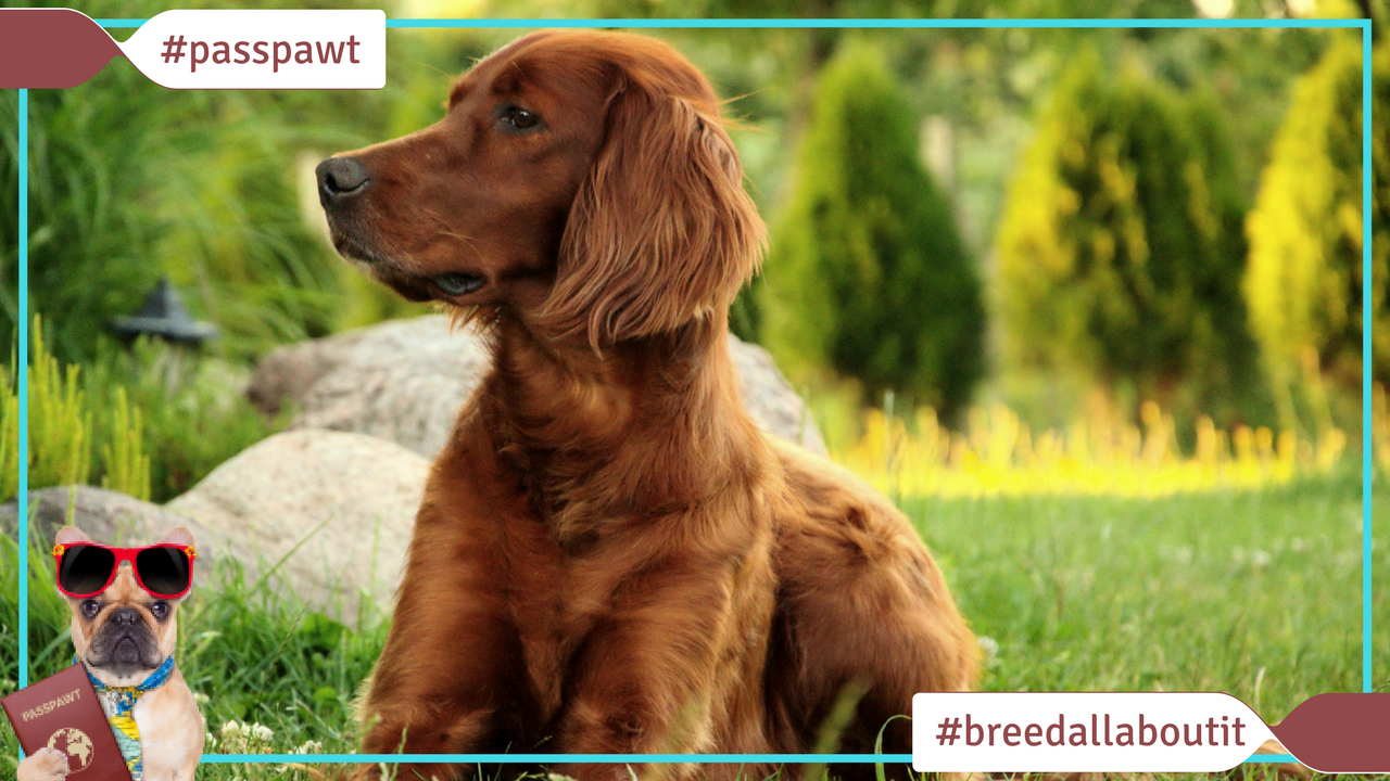 Breed All About It – Dog Breeds starting With I – Irish Setter