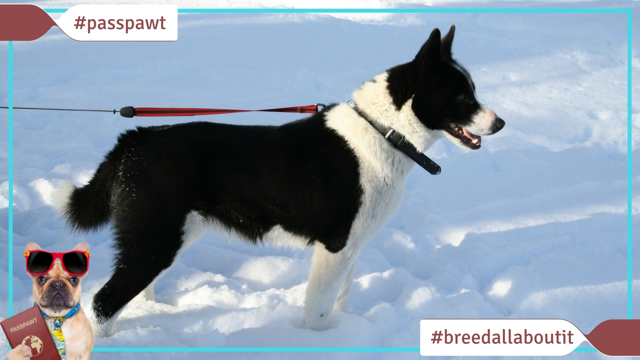 Breed All About It – Dog Breeds starting With K – Karelian Bear Dog
