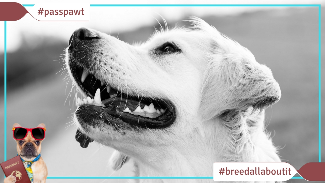 Breed All About It – Dog Breeds starting With L – Labrador Retriever