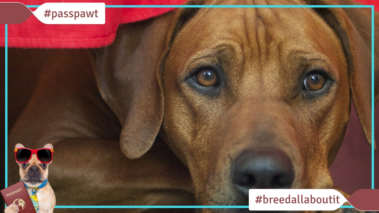 Breed All About It – Dog Breeds starting With R – Rhodesian Ridgeback