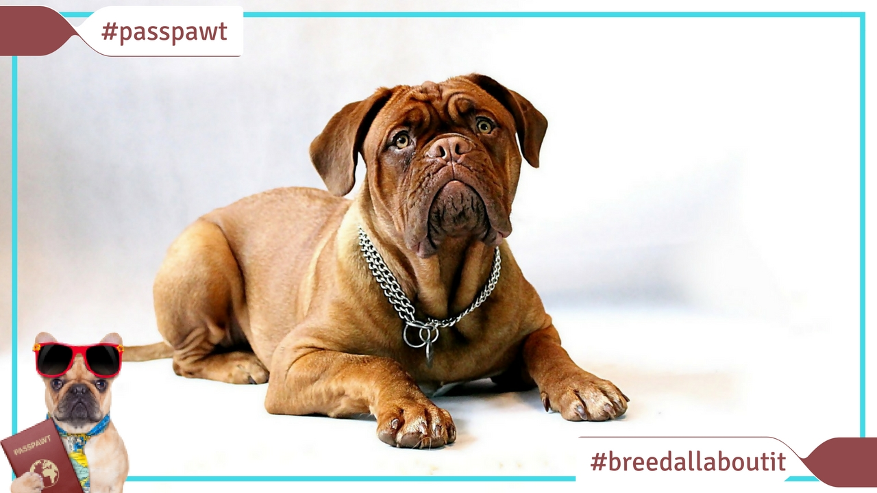 Breed All About It – Dog Breeds starting With M – Bullmastiff