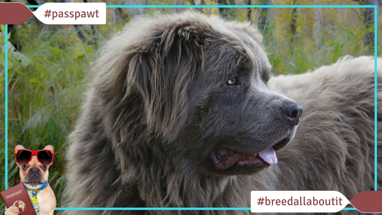 Breed All About It – Dog Breeds starting With N – Newfoundland