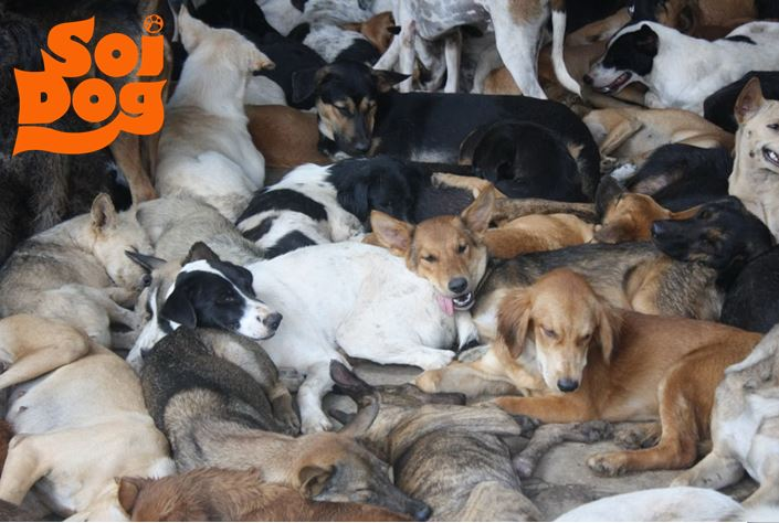Soi dog animal rescue