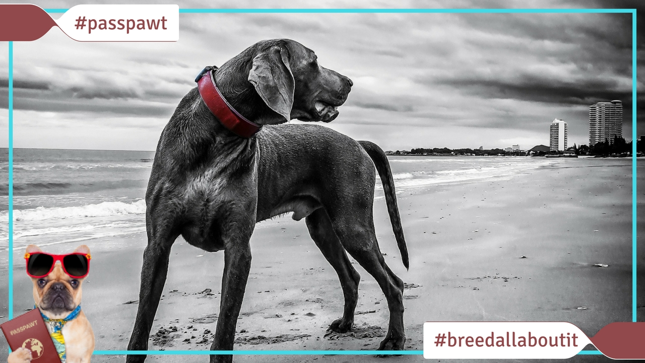 Breed All About It – Dog Breeds starting With W – Weimaraner